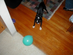 Milo vs his mortal enemy... a balloon.